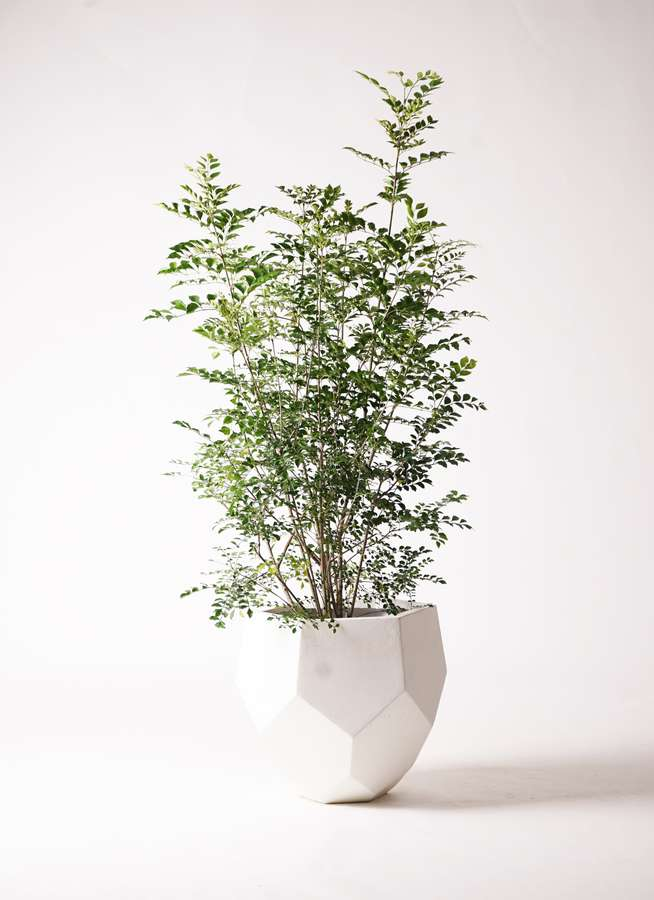 観葉植物 シマトネリコ 8号 ポリゴヘクサ 白 付き