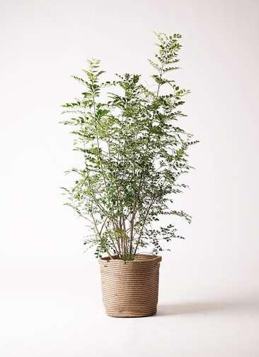 観葉植物 シマトネリコ 8号 リブバスケットNatural 付き