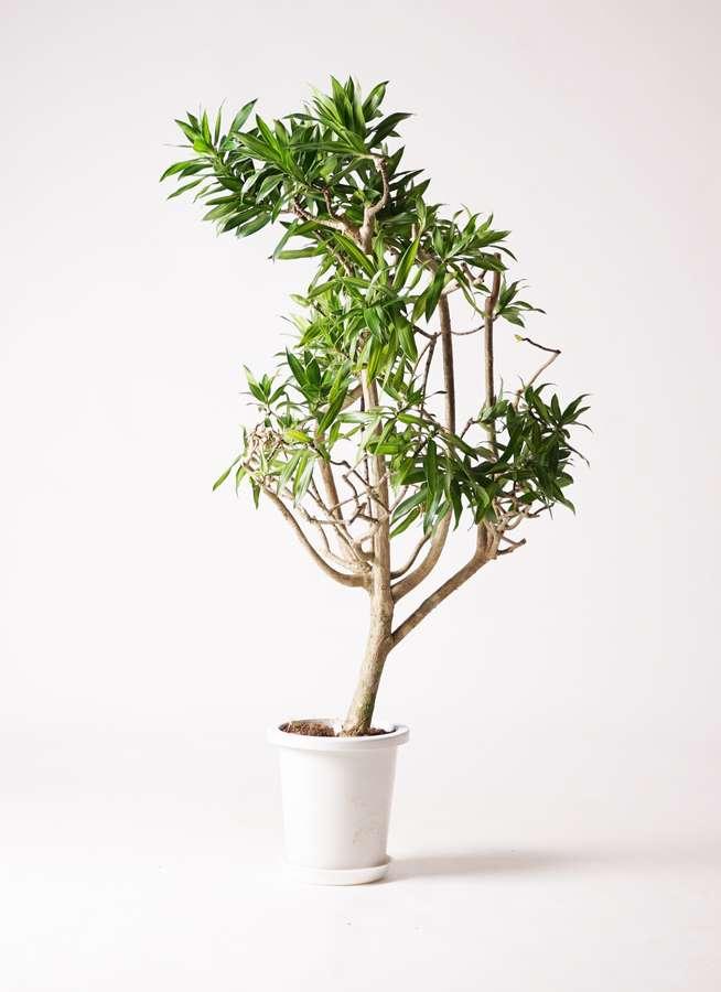 観葉植物 ドラセナ ソング オブ ジャマイカ 8号 プラスチック鉢