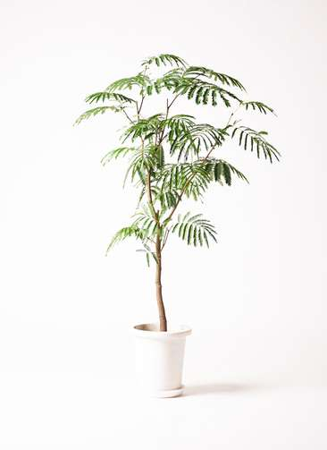 観葉植物 エバーフレッシュ 8号 ボサ造り プラスチック鉢