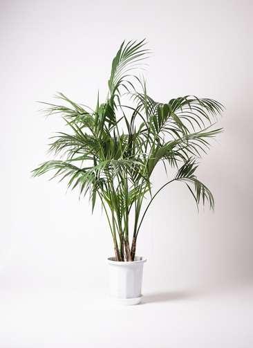 観葉植物 ケンチャヤシ 10号 プラスチック鉢