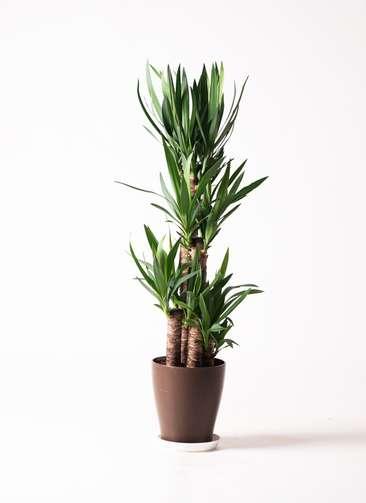 観葉植物 ユッカ 8号 ノーマル プラスチック鉢