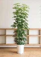 観葉植物 カポック(シェフレラ) 10号 ノーマル プラスチック鉢