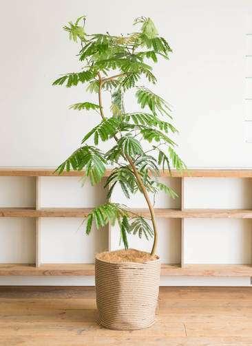 観葉植物 エバーフレッシュ 10号 曲り リブバスケットNatural 付き