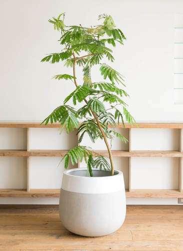 観葉植物 エバーフレッシュ 10号 曲り ファイバーストーンタウルス 白 付き