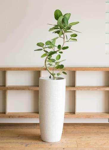 観葉植物 フィカス ベンガレンシス 8号 曲り エコストーントールタイプ white 付き