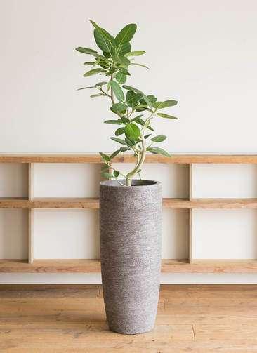 観葉植物 フィカス ベンガレンシス 8号 曲り エコストーントールタイプ Gray 付き
