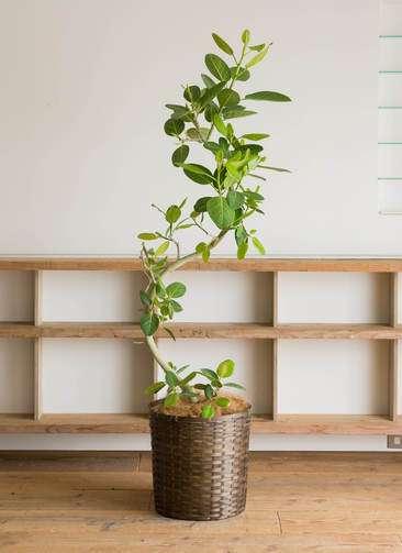 観葉植物   フィカス ベンガレンシス 10号 曲り 竹バスケット 付き
