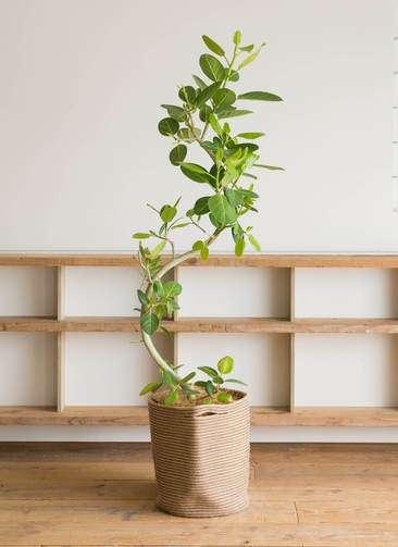 観葉植物 フィカス ベンガレンシス 10号 曲り リブバスケットNatural 付き