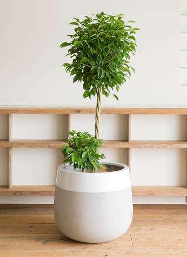 観葉植物 フィカス ベンジャミン 10号 玉造り ファイバーストーン タウルス ミドル 白 付き