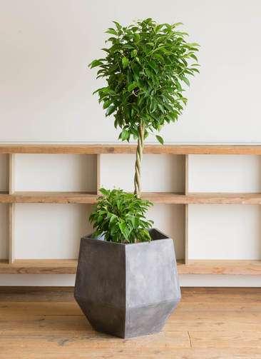 観葉植物 フィカス ベンジャミン 10号 玉造り ファイバークレイGray 付き