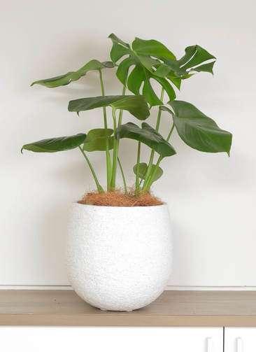 観葉植物 モンステラ 6号 ボサ造り エコストーンwhite 付き