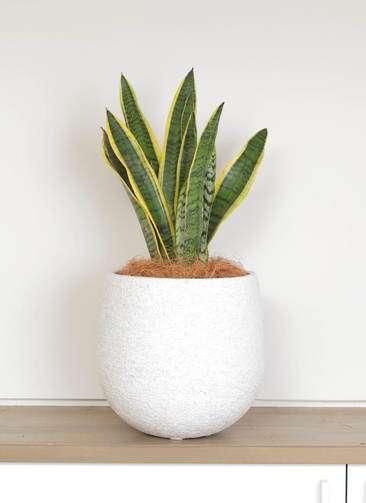 観葉植物 サンスベリア 6号 トラノオ エコストーンwhite 付き