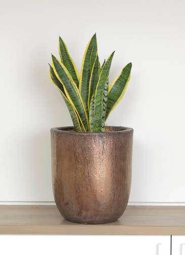 観葉植物 サンスベリア 6号 トラノオ ビトロ ウーヌム コッパー釉 付き