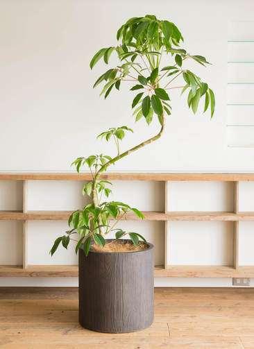 観葉植物 ツピダンサス 10号 曲り アルファシリンダープランター ウッド 付き