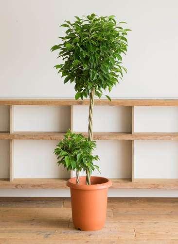 観葉植物 フィカス ベンジャミン 10号 玉造り プラスチック鉢