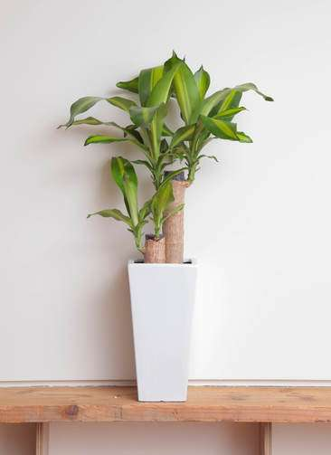 観葉植物 ドラセナ 幸福の木 6号 ノーマル 角高陶器