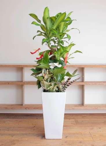 観葉植物 ドラセナ 幸福の木 10号 寄せ植え 角高陶器(紅白アンスリウム入り)