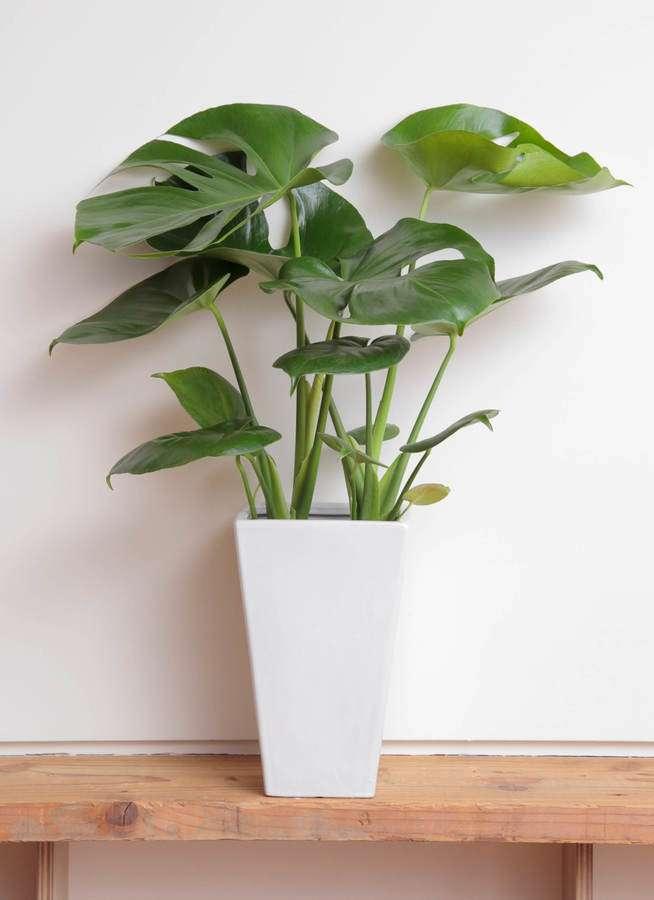 観葉植物 モンステラ 6号 ボサ造り 角陶器