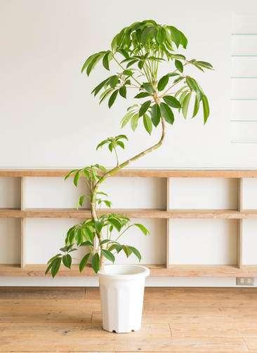 観葉植物   ツピダンサス 10号 曲り プラスチック鉢