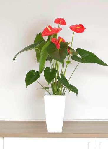 観葉植物 アンスリウム 6号 ダコタ 白角鉢