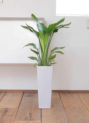 観葉植物 オーガスタ 7号 角陶器ロング