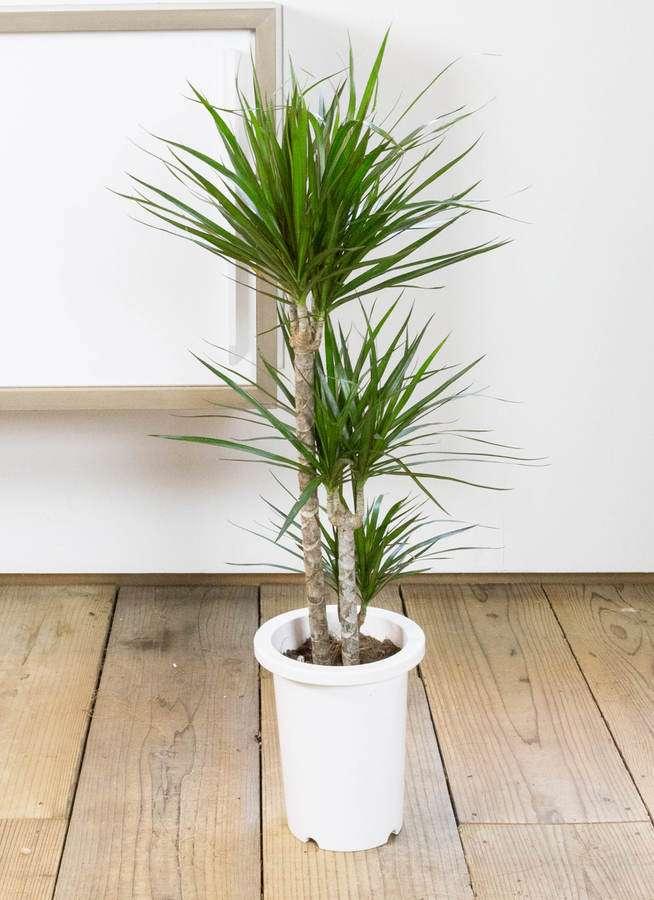 観葉植物 ドラセナ コンシンネ 7号 寄せ プラスチック鉢
