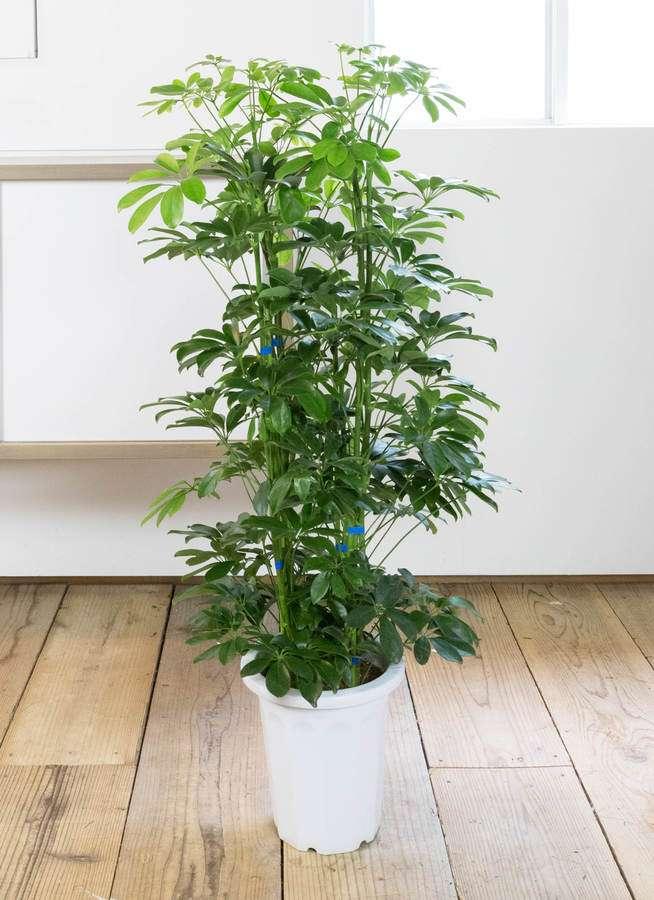 観葉植物 カポック(シェフレラ) 8号 ノーマル プラスチック鉢