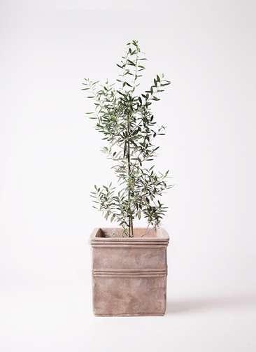 観葉植物 オリーブの木 8号 チプレッシーノ テラアストラ カペラキュビ 赤茶色 付き
