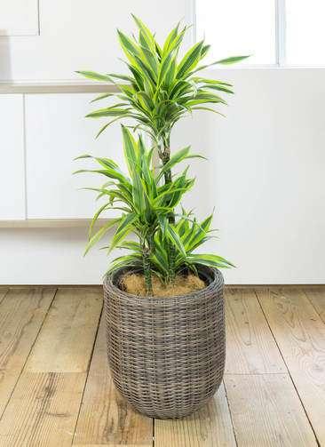 観葉植物 ドラセナ ワーネッキー レモンライム 8号 ウィッカーポット エッグ NT 茶 付き