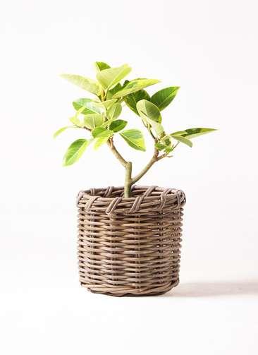 観葉植物 フィカス アルテシーマ 6号 ストレート グレイラタン 付き