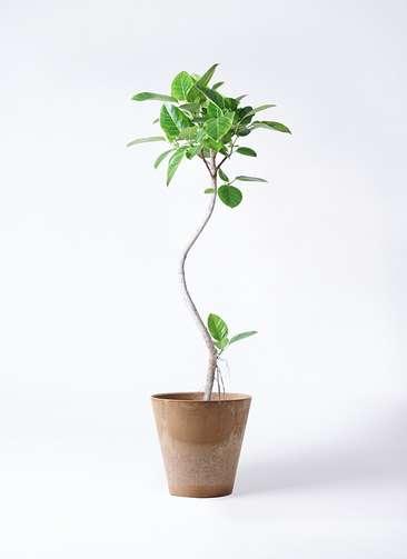 観葉植物 フィカス アルテシーマ 8号 曲り アートストーン ラウンド ベージュ 付き