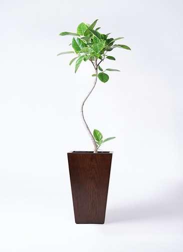 観葉植物 フィカス アルテシーマ 8号 曲り MOKU スクエア 付き