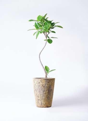 観葉植物 フィカス アルテシーマ 8号 曲り アトランティス クルーシブル 付き