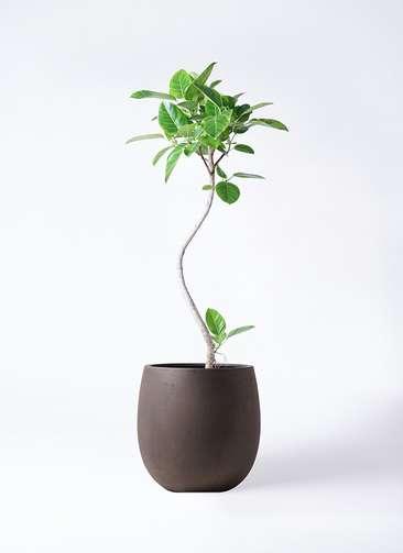 観葉植物 フィカス アルテシーマ 8号 曲り テラニアス バルーン アンティークブラウン 付き
