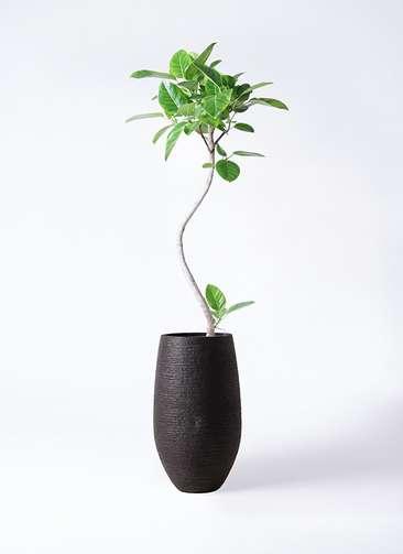 観葉植物 フィカス アルテシーマ 8号 曲り フォンティーヌトール 黒 付き