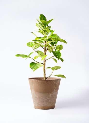 観葉植物 フィカス アルテシーマ 7号 ストレート アートストーン ラウンド ベージュ 付き