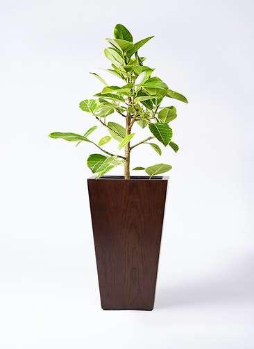 観葉植物 フィカス アルテシーマ 7号 ストレート MOKU スクエア 付き