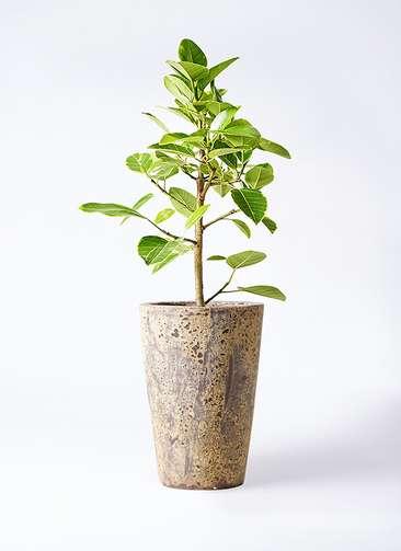 観葉植物 フィカス アルテシーマ 7号 ストレート アトランティス クルーシブル 付き