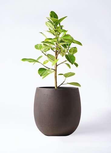 観葉植物 フィカス アルテシーマ 7号 ストレート テラニアス バルーン アンティークブラウン 付き