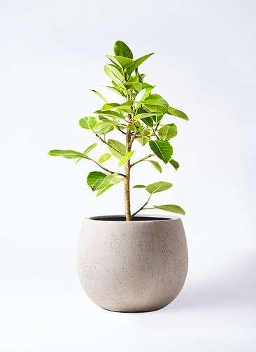 観葉植物 フィカス アルテシーマ 7号 ストレート テラニアス ローバルーン アンティークホワイト 付き