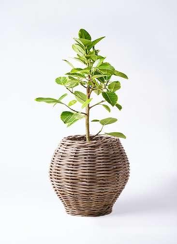 観葉植物 フィカス アルテシーマ 7号 ストレート グレイラタン 付き