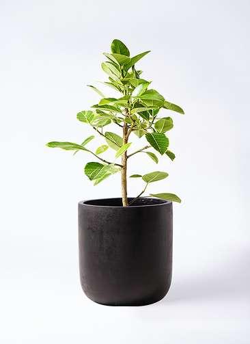 観葉植物 フィカス アルテシーマ 7号 ストレート エルバ 黒 付き
