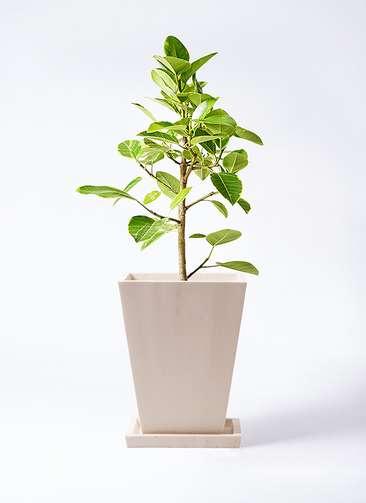 観葉植物 フィカス アルテシーマ 7号 ストレート パウダーストーン 白 付き