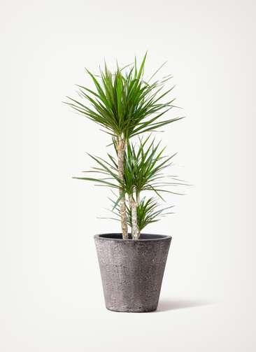 観葉植物 ドラセナ コンシンネ 7号 寄せ フォリオソリッド ブラックウォッシュ 付き
