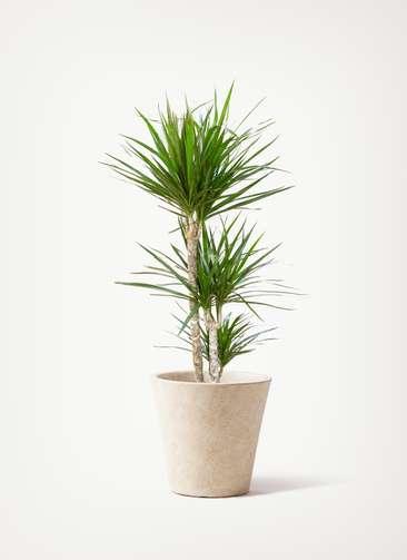 観葉植物 ドラセナ コンシンネ 7号 寄せ フォリオソリッド クリーム 付き