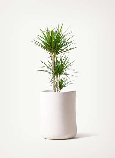 観葉植物 ドラセナ コンシンネ 7号 寄せ バスク ミドル ホワイト 付き