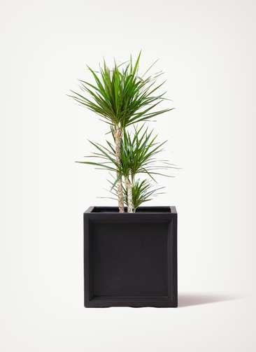 観葉植物 ドラセナ コンシンネ 7号 寄せ ブリティッシュキューブ  付き