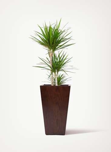 観葉植物 ドラセナ コンシンネ 7号 寄せ MOKU スクエア  付き