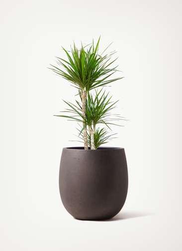 観葉植物 ドラセナ コンシンネ 7号 寄せ テラニアス バルーン アンティーク ブラウン 付き